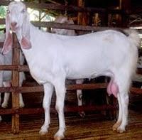 Mengenal lebih apa kambing peranakan etawa?